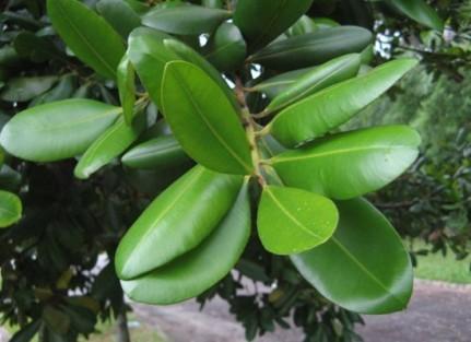 Caoutchouc diaporama famille doctissimo for Plante caoutchouc