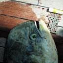 Des débris retrouvés à l'intérieur des poissons..