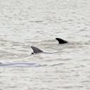 Les mammifères marins en danger