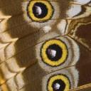 Les ailes des papillons