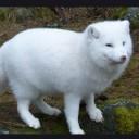 renard-blanc