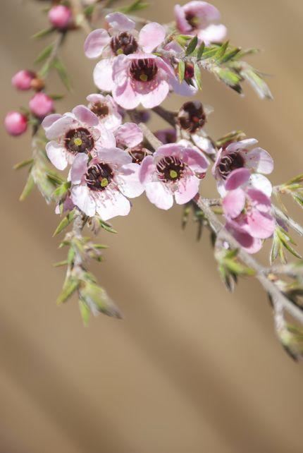 une eau florale de tea tree rem des naturels contre la mauvaise haleine diaporama sant. Black Bedroom Furniture Sets. Home Design Ideas