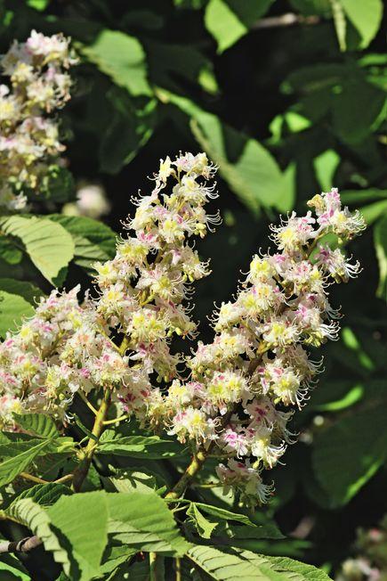 white chestnut en fleur de bach rem des naturels contre les bouff es de chaleur diaporama. Black Bedroom Furniture Sets. Home Design Ideas