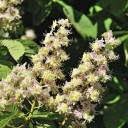 White chestnut en fleur de Bach