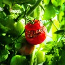 Guillaume GAUTER - Tomate farcie2