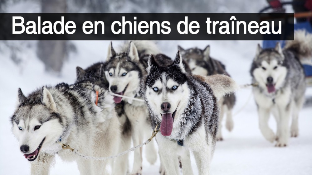 Chiens de traineaux randonn e chiens de traineaux une for Balade chien de traineau doubs
