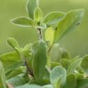 huile essentielles de marjolaine des jardins