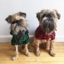 Chiens Griffons bruxellois moches