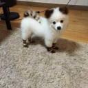 Mini chien –  Chien miniature Pomsky Bootsy