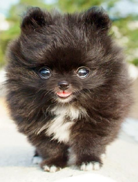 Pomeranian Mixed With Yorkie Black Mini chien – Chien m...