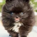 Mini chien –  Chien miniature Spitz nain Poméranien aux pattes blanches
