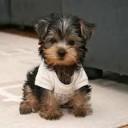 Mini chien –  Chien miniature Yorkshire