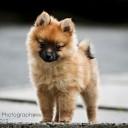 Mini chien –  Chien miniature Loulou de Poméranie