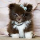 Mini chien –  Chien miniature chocolat et blanc
