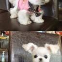Mini chien –  Chien miniature trop mignon