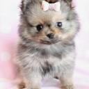 Mini chien –  Chien miniature crème et noir