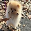 Mini chien –  Chien miniature qui montre ses coussinets