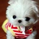 Mini chien –  Chien miniature blanc