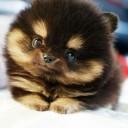 Mini chien –  Chien miniature Poméranien noir et feu
