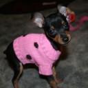 Mini chien –  Chien miniature Pinscher nain avec un pull