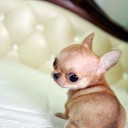 Mini chien –  Chien miniature Chihuahua beige