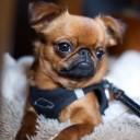 Mini chien –  Chien miniature Petit Brabançon
