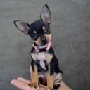 Mini chien –  Chien miniature Spitz nain de poche