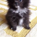 Mini chien –  Chien miniature Loulou de Poméranie noir et blanc