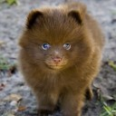 Mini chien –  Chien miniature qui ressemble à un ourson
