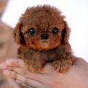 Mini chien –  Chien miniature aux poils frisés