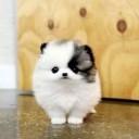 Mini chien –  Chien miniature noir et blanc