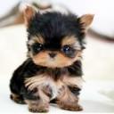 Mini chien –  Chien miniature Yorkshire nain