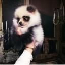 Mini chien –  Chien miniature Panda