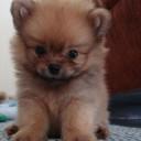 Mini chien –  Chien miniature ourson en peluche