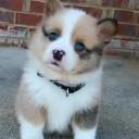 Mini chien –  Chien miniature aux yeux bleus