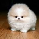 Mini chien –  Chien miniature Spitz nain Poméranien beige et blanc