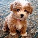 Mini chien –  Chien miniature aux poils frisés marron et blanc