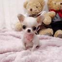 Mini chien –  Chien miniature Chihuahua blanc