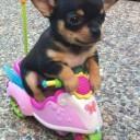 Mini chien –  Chien miniature sur un scooter