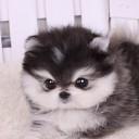 Mini chien –  Chien miniature Poméranien noir et blanc