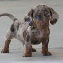 Mini chien –  Chien miniature teckel nain