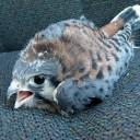 bébé faucon