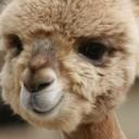 bebe_camel