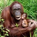 bebe_orangutan