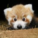 red-panda-600x600