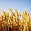 amidon de blé