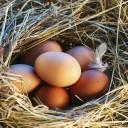 El huevo de gallina
