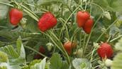 fraisiers-jardiniere-plantation