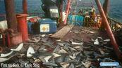 Le requin, une espèce en voie d'extinction
