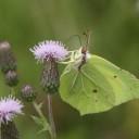 papillon-citron-F.Virey-OPIE
